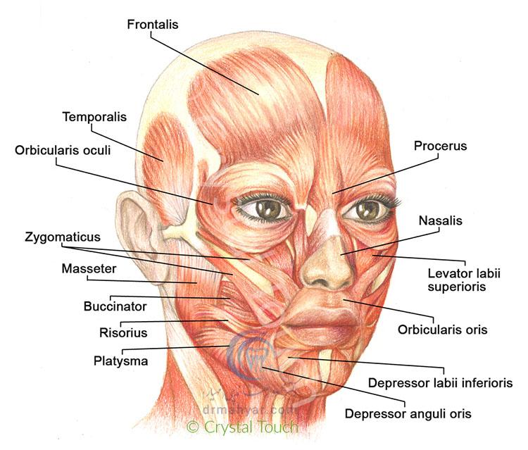 آناتومی عضلات صورت